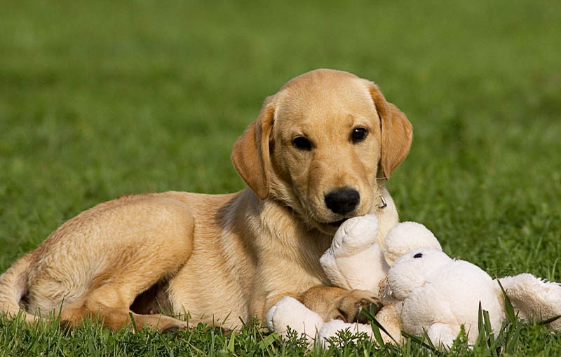 The Ontario Dog Trainer: New Puppy Training. Picture of a Lab Puppy playing with a toy.